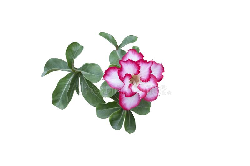 Flores cor-de-rosa frescas da azálea isoladas no fundo branco imagem de stock