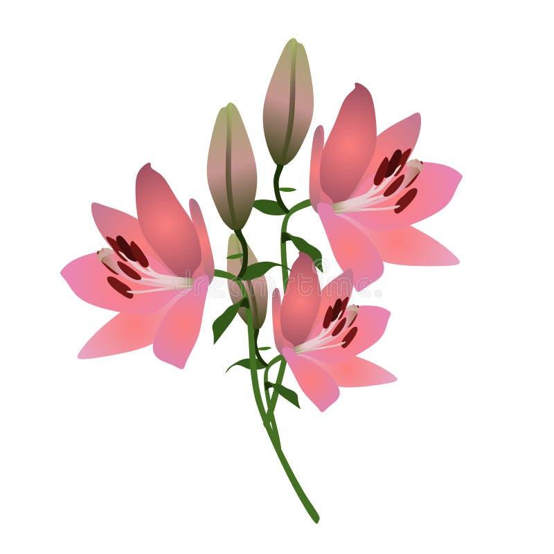 Flores cor-de-rosa frescas do lírio isoladas no branco Cartão do cumprimento ou do convite Elemento do projeto ilustração stock