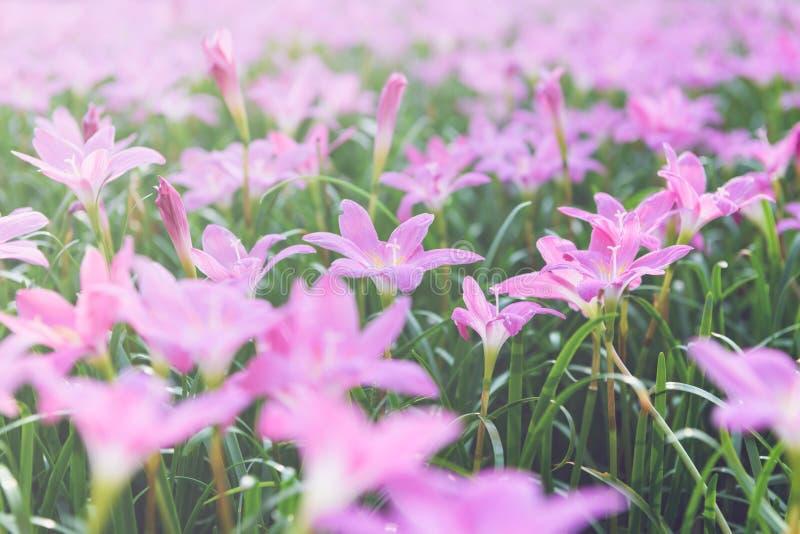 Flores cor-de-rosa grandiflora de Zephyranthes no jardim imagem de stock