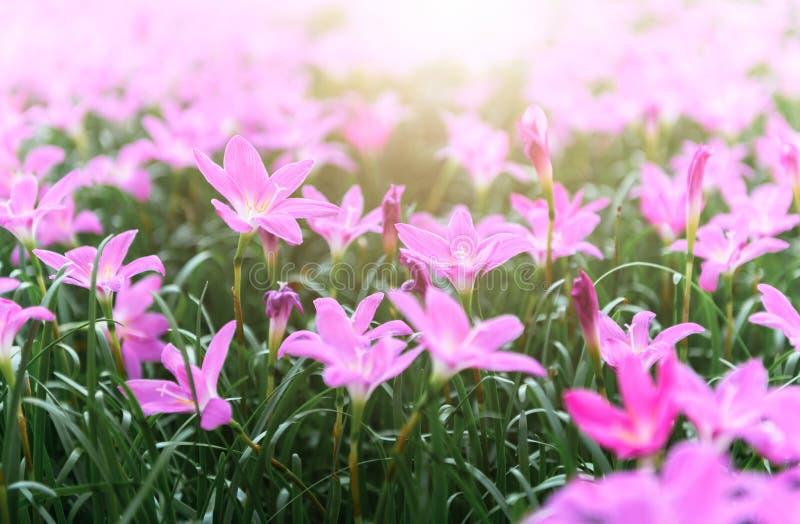 Flores cor-de-rosa grandiflora de Zephyranthes ou lírio feericamente fotografia de stock