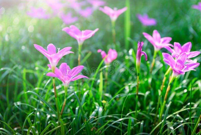 Flores cor-de-rosa grandiflora de Zephyranthes ou l?rio feericamente foto de stock