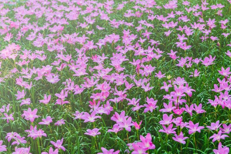 Flores cor-de-rosa grandiflora de Zephyranthes ou l?rio feericamente fotografia de stock royalty free