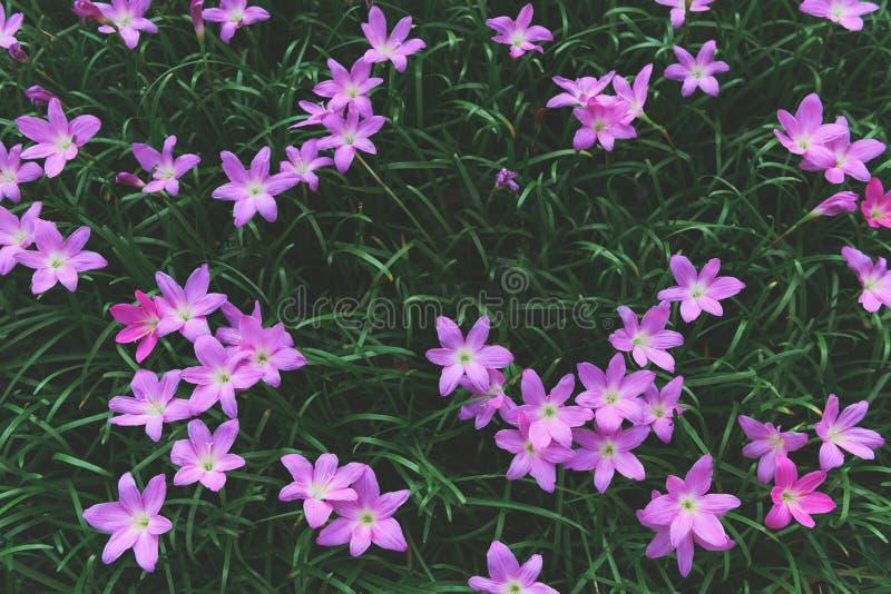 Flores cor-de-rosa grandiflora de Zephyranthes ou l?rio feericamente imagens de stock