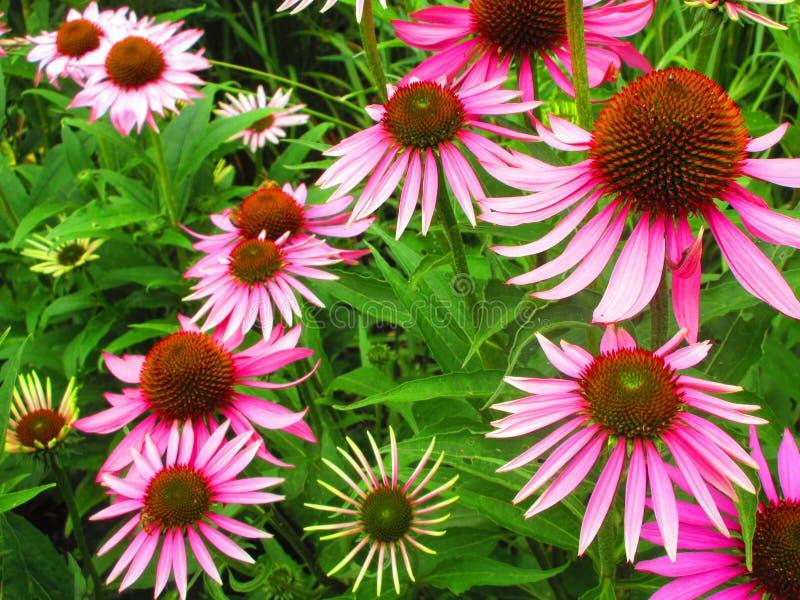 Flores cor-de-rosa impressionantes com pétalas longas fotos de stock royalty free