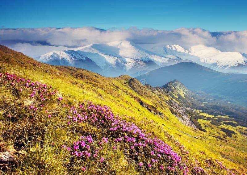 Flores cor-de-rosa mágicas do rododendro na montanha do verão foto de stock