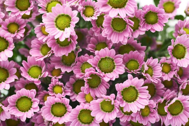 Flores cor-de-rosa múltiplas do crisântemo fotos de stock royalty free
