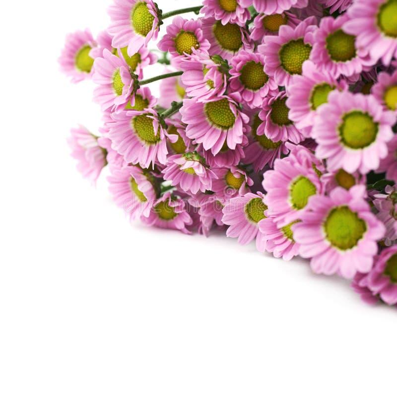 Flores cor-de-rosa múltiplas do crisântemo imagem de stock