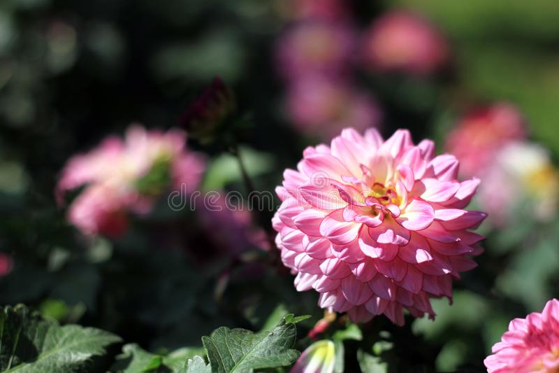 Flores cor-de-rosa no jardim de Tailândia fotos de stock