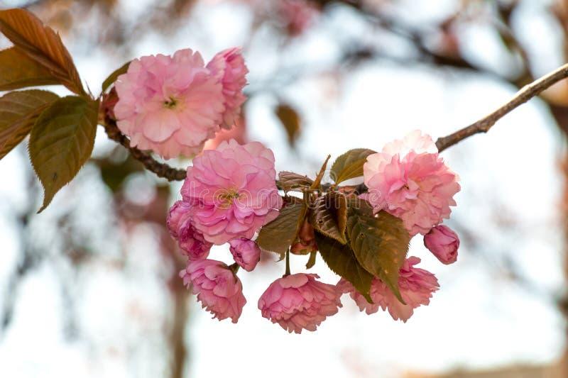 Flores cor-de-rosa nos ramos do japonês sakura fotografia de stock