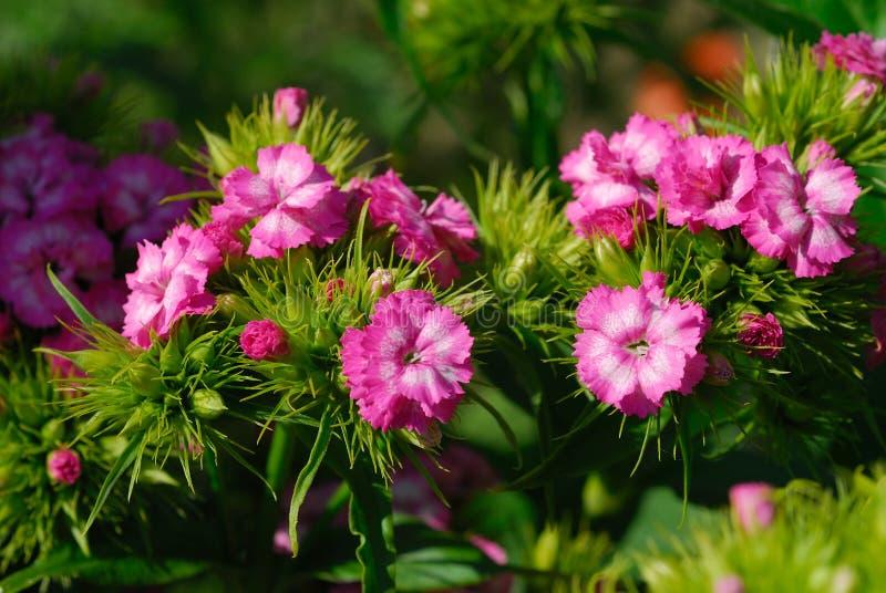 Flores cor-de-rosa pequenas fotografia de stock
