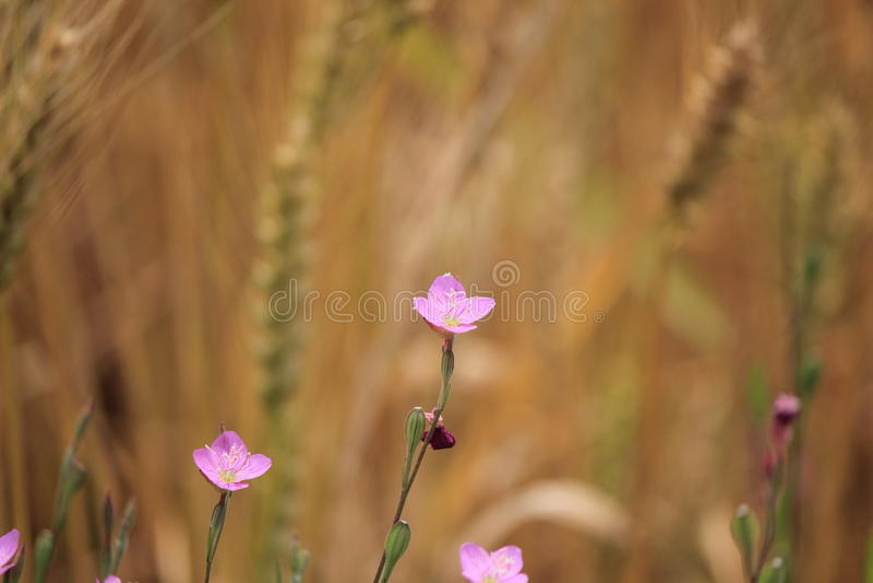 Flores cor-de-rosa pequenas bonitas fotografia de stock