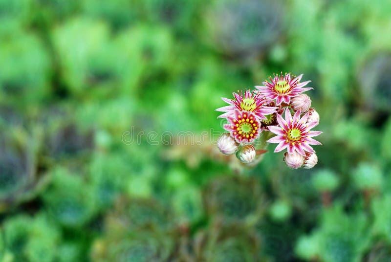 Flores cor-de-rosa de plantas carnudas sempre-verdes de Sempervivum fotografia de stock royalty free