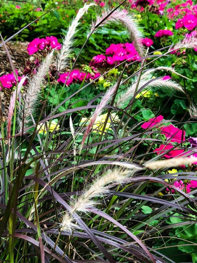 Flores cor-de-rosa quentes e ervas daninhas distorcidos no jardim fotos de stock royalty free