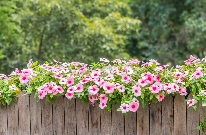 Flores cor-de-rosa, roseus do Catharanthus, Vinca foto de stock royalty free