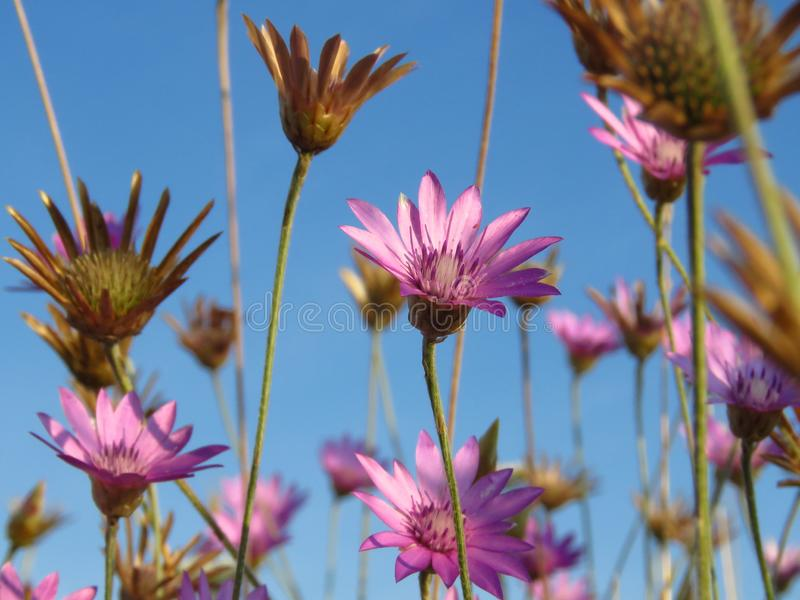 Flores cor-de-rosa roxas pequenas do prado contra o céu azul Apropriado para o fundo floral Papel de parede selvagem das flores d imagem de stock royalty free