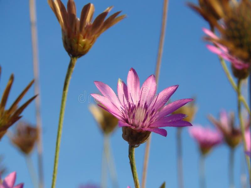 Flores cor-de-rosa roxas pequenas do prado contra o céu azul Apropriado para o fundo floral imagem de stock
