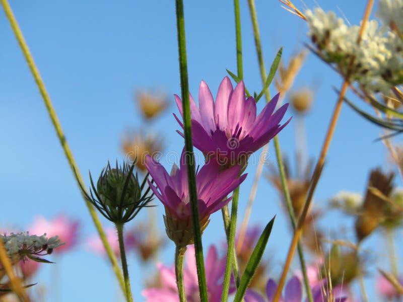 Flores cor-de-rosa roxas pequenas do prado contra o céu azul Apropriado para o fundo floral foto de stock royalty free