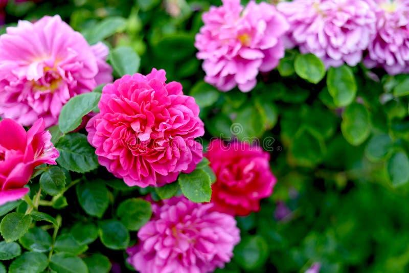 Flores cor-de-rosa vibrantes do cravo no jardim imagens de stock royalty free