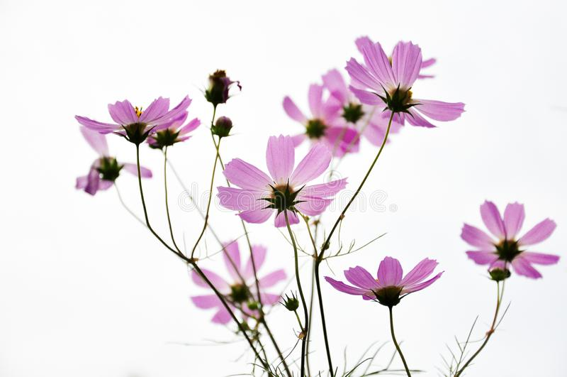 Flores cosmos púrpuras foto de archivo libre de regalías