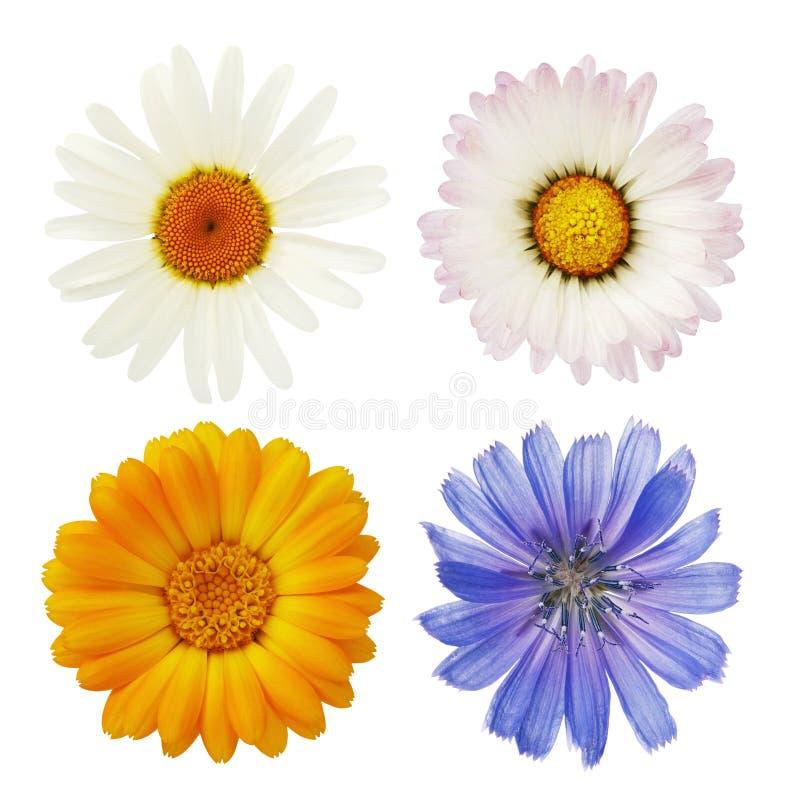 Flores, cravo-de-defunto e chicória da camomila selvagem fotografia de stock