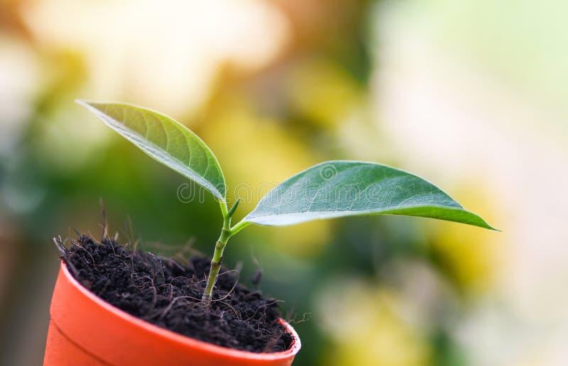Flores crecientes del plantación de árboles de la planta en pote con el suelo en el fondo del jardín del verde de la naturaleza - foto de archivo
