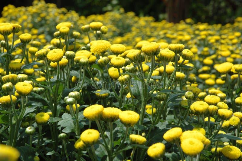Flores - crisântemo foto de stock