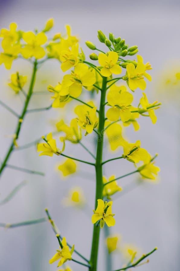 Flores crucíferas fotografía de archivo libre de regalías