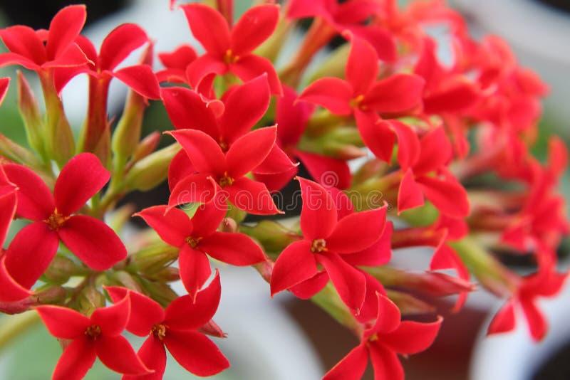 Flores cruciformes rojas brillantes en la inflorescencia de Kalanchoe fotografía de archivo