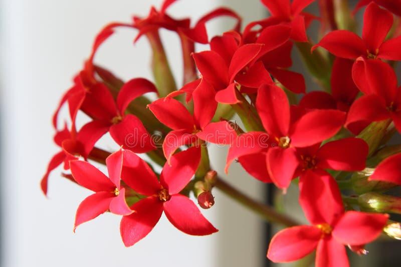 Flores cruciformes rojas brillantes en la inflorescencia de Kalanchoe imagenes de archivo