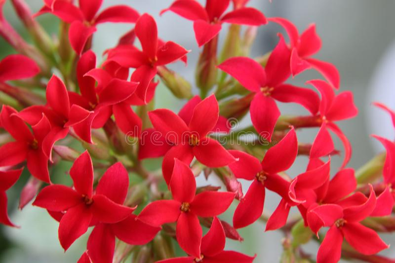 Flores cruciformes rojas brillantes en la inflorescencia de Kalanchoe fotos de archivo libres de regalías