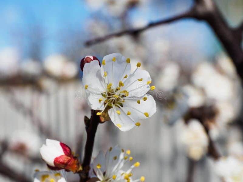 Flores da árvore de abricó com foco macio Flores brancas da mola em um ramo de árvore Árvore de cereja na flor Mola, estações foto de stock