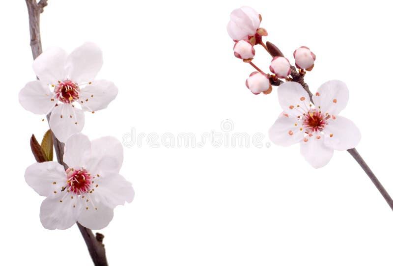 Flores da árvore de ameixa fotos de stock