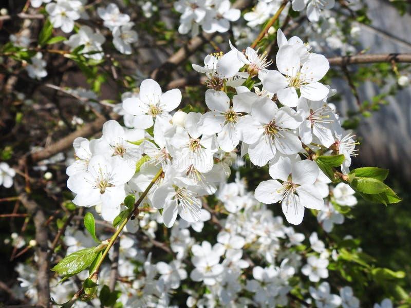 Flores da árvore de ameixa na mola, Lituânia imagens de stock royalty free
