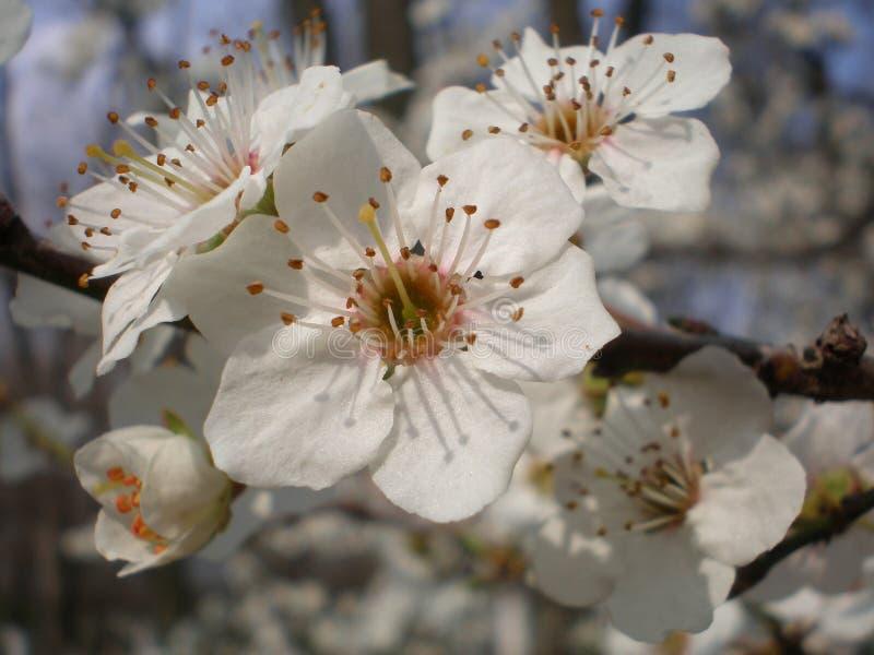 Flores da árvore de amoreira foto de stock