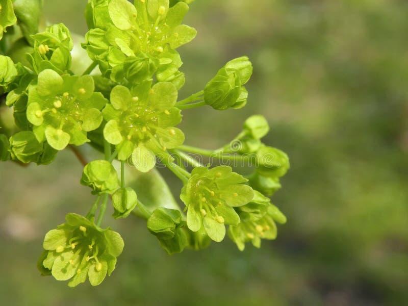 Flores da árvore de bordo foto de stock