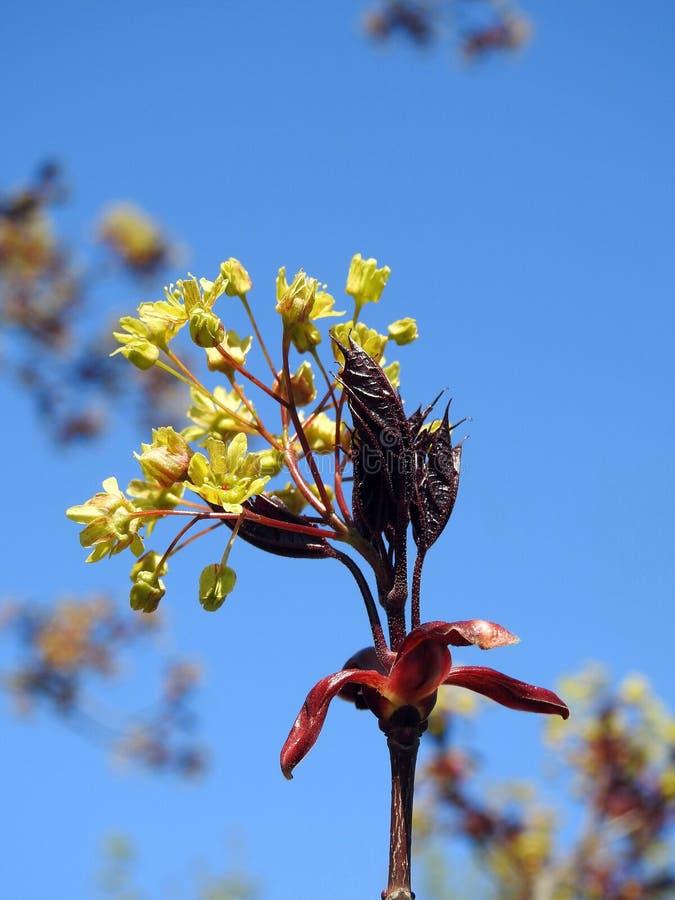 Flores da árvore de bordo imagem de stock royalty free
