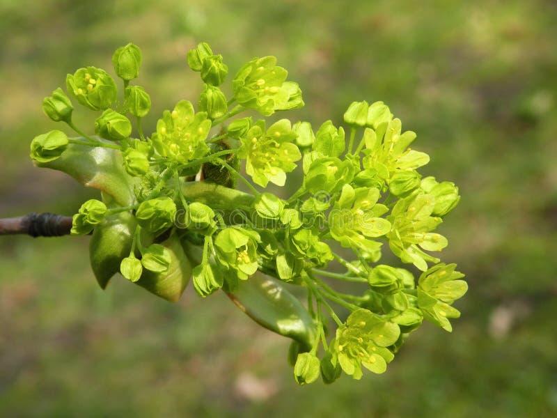 Flores da árvore de bordo na mola, Lituânia imagens de stock