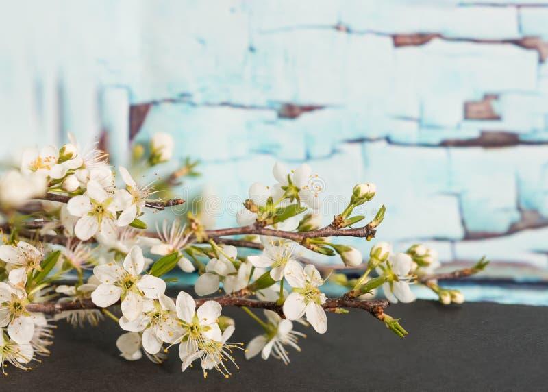 Flores da árvore de Bradford Pear na frente da parede velha imagem de stock