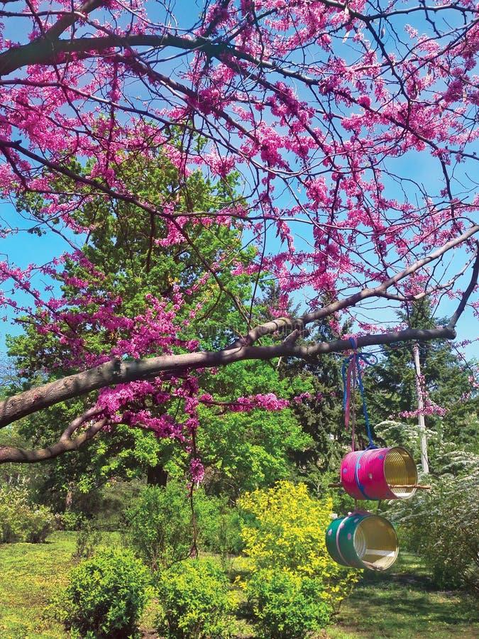 Flores da árvore de cereja com os alimentadores cor-de-rosa do jardim botânico e do pássaro das flores na primavera das latas rec imagens de stock royalty free