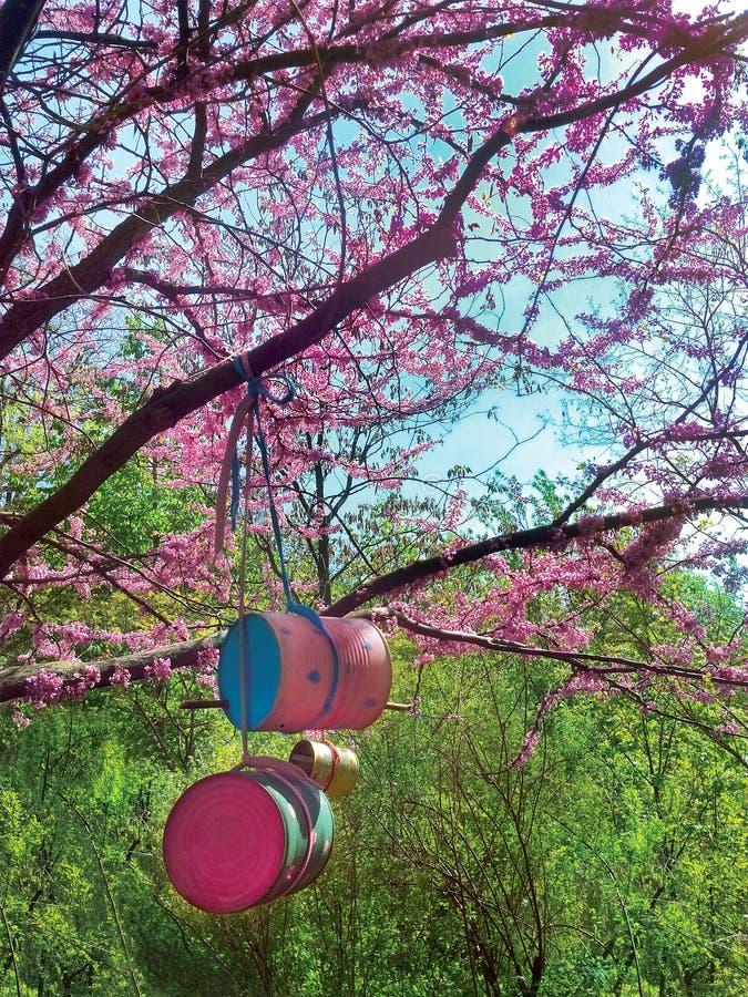 Flores da árvore de cereja com os alimentadores cor-de-rosa do jardim botânico e do pássaro das flores na primavera das latas rec imagem de stock royalty free