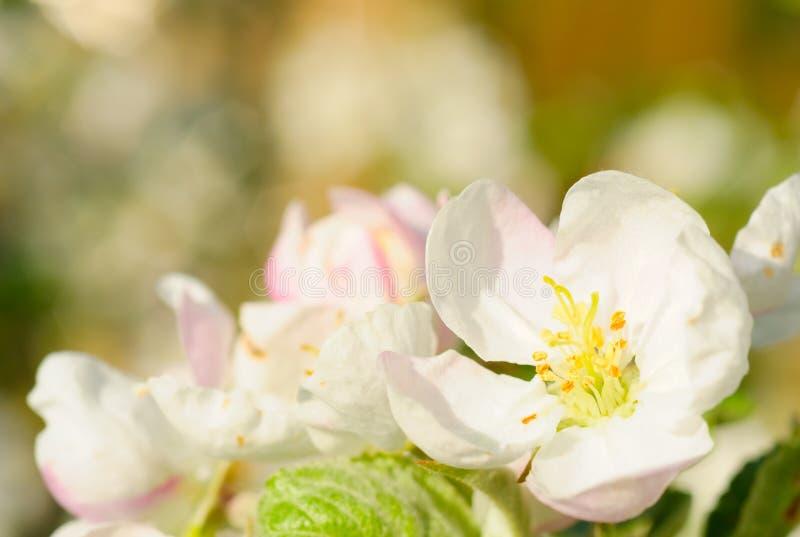 Flores da árvore de maçã imagem de stock