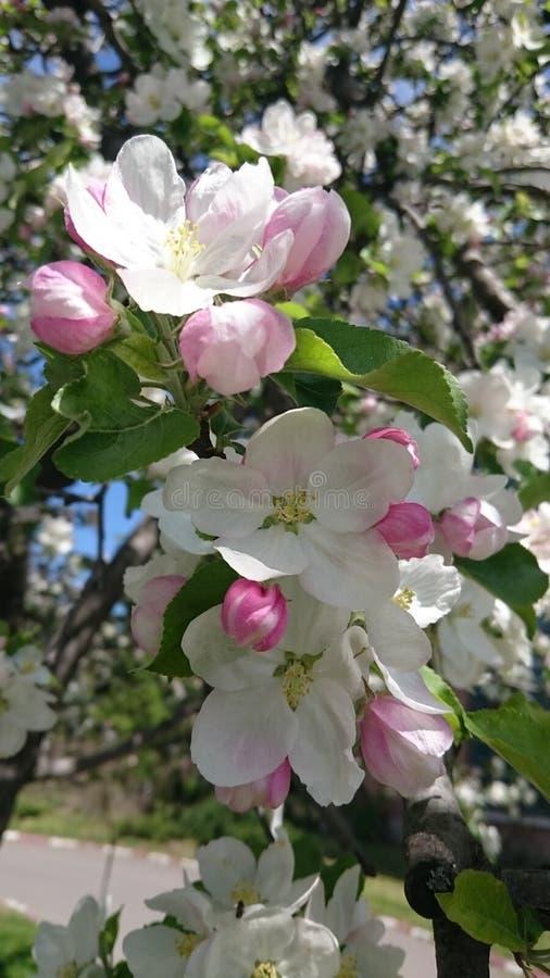 Flores da árvore de maçã da mola na flor fotografia de stock royalty free
