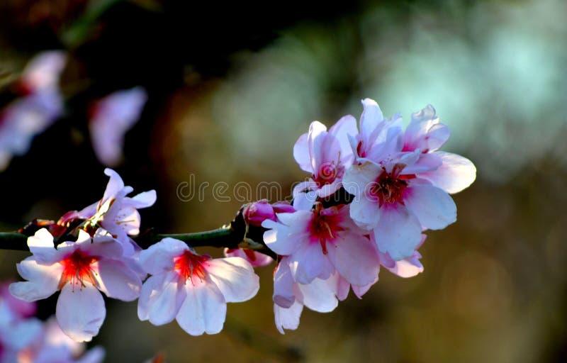 Flores da árvore de pêssego Bokeh wallpaper imagem de stock royalty free