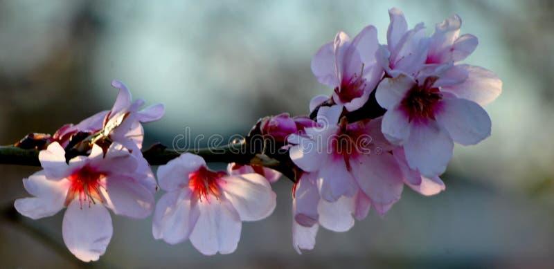 Flores da árvore de pêssego Bokeh wallpaper imagens de stock
