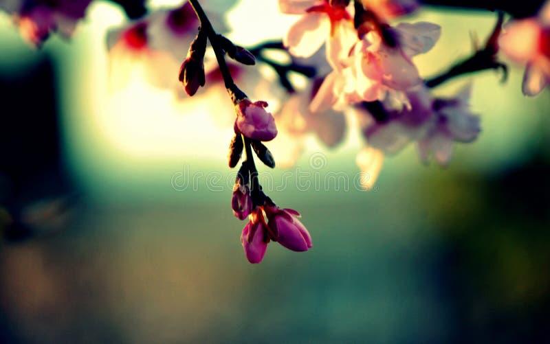 Flores da árvore de pêssego Bokeh wallpaper fotografia de stock