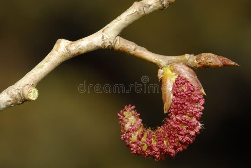 Flores da árvore de poplar fotografia de stock