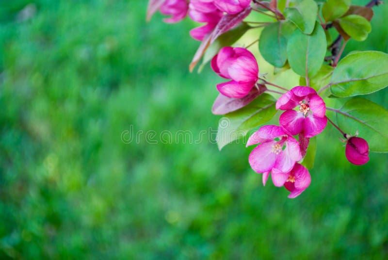 Flores da árvore de Redbud fotografia de stock royalty free