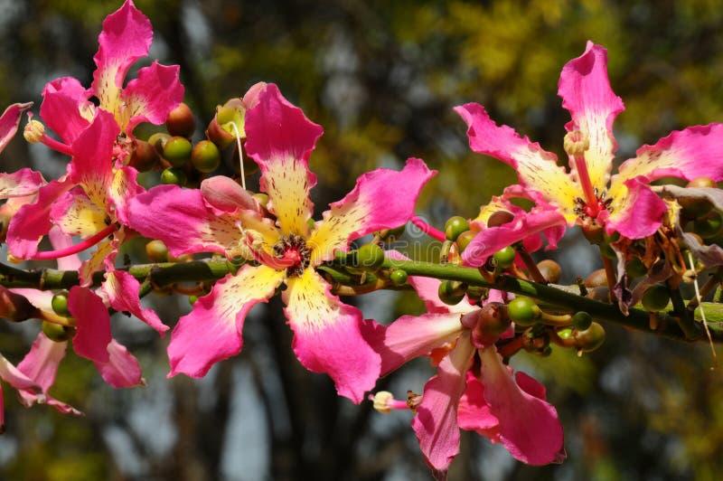 Flores da árvore de seda de Floss fotografia de stock royalty free