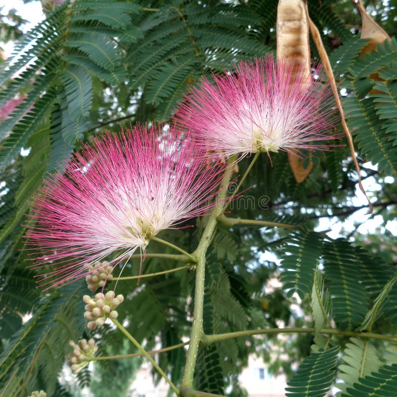 Flores da árvore de seda e vagens da semente - close up do julibrissin do Albizia imagem de stock royalty free