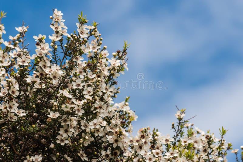 Flores da árvore do chá fotos de stock royalty free
